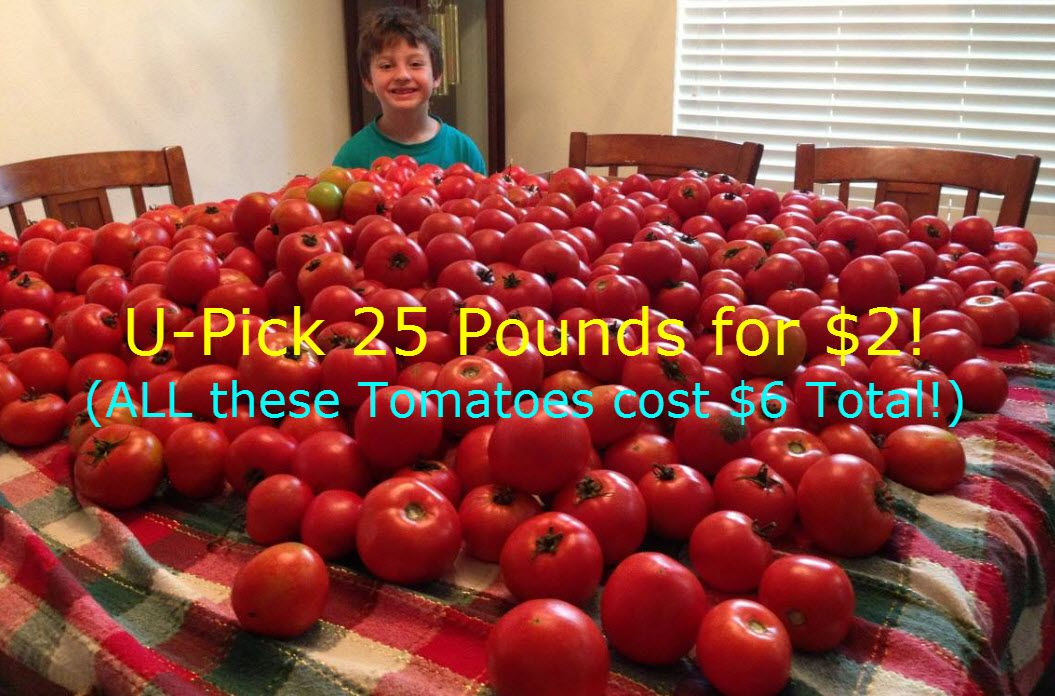 U-Pick Tomatoes: 25 Pounds For Only $3 Total! {Bradenton, FL}
