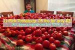 U-Pick Tomatoes 2015