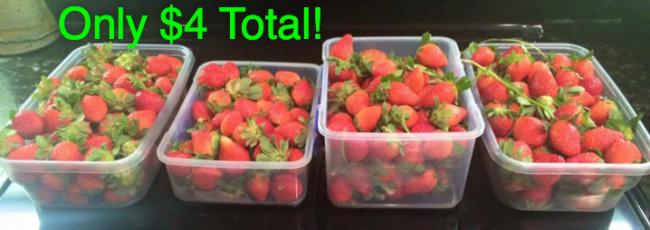 Strawberry U-Pick 2016