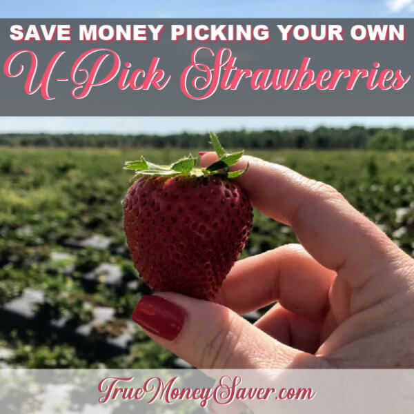 U-Pick Strawberry Fields Are OPEN!! Organic $2.50 Per Pound; Conventional 2 Quarts For $1!